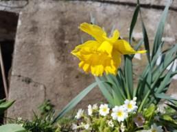 Jonquilles au printemps